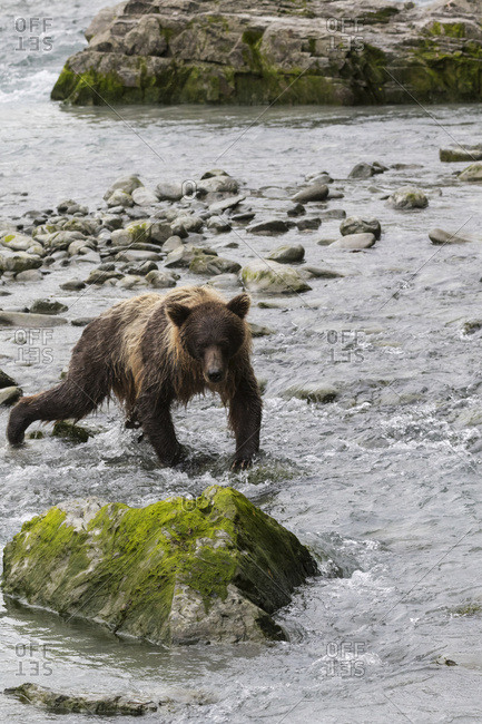 Immature Brown bear fishing at Bird Creek along Turnagain Arm, South-central Alaska, summer