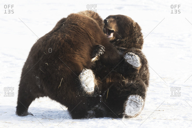 CAPTIVE: A pair of playful bears wrestle in the snow at the Alaska Wildlife Conservation Center, South-central Alaska