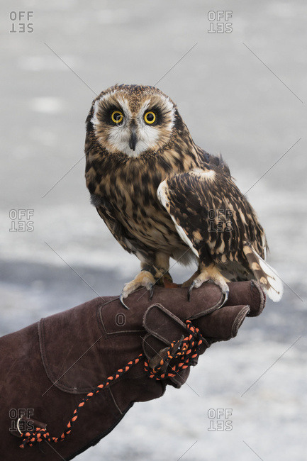 Short-eared owl sits on a handler's leather glove, South-central Alaska