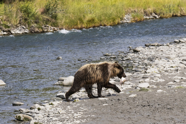 Immature Brown bear fishing for salmon at Bird Creek, South-central Alaska, summer
