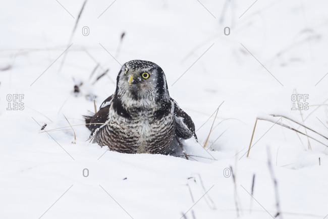 Hawk owl in the snow hunting for voles near the Anchorage airport, South-central Alaska