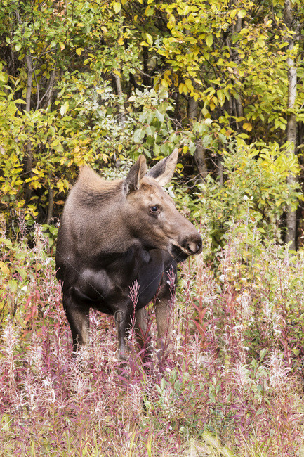 Cow moose browses near the Parks Highway north of Cantwell, Alaska in Interior Alaska.