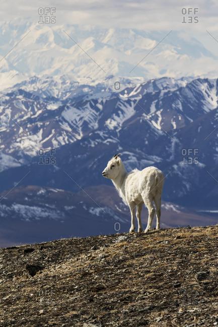 Dall sheep with Denali in the background, Denali National Park & Preserve in Interior Alaska, spring