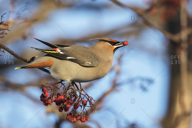 Bohemian Waxwing with a Mountain Ash berry in its beak, Anchorage, South-central Alaska