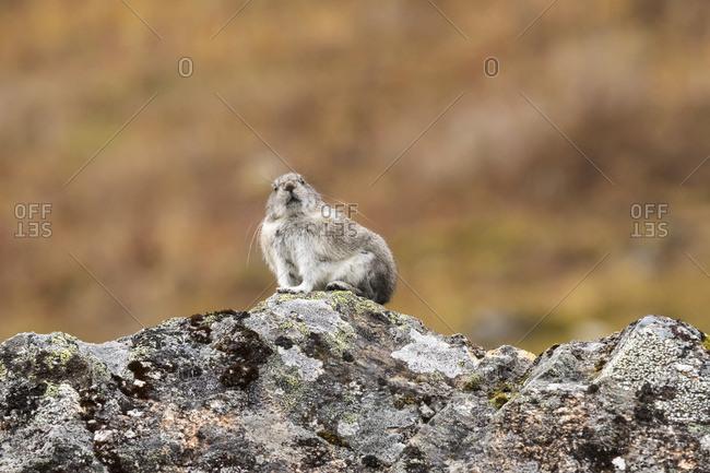 Collard Pika perched on a lichen covered rock, Hatcher Pass, South-central Alaska