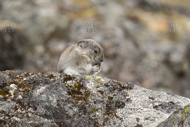 Collared Pika perched on a lichen covered rock, Hatcher Pass, South-central Alaska