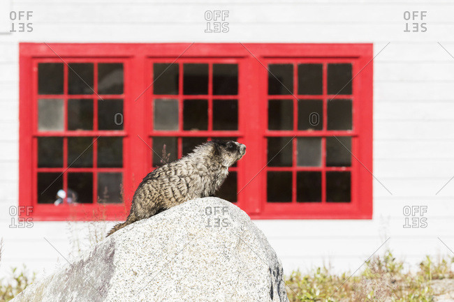 A Hoary Marmot perches on a rock in the afternoon sun at Independence Mine up in Hatcher Pass, South-central Alaska