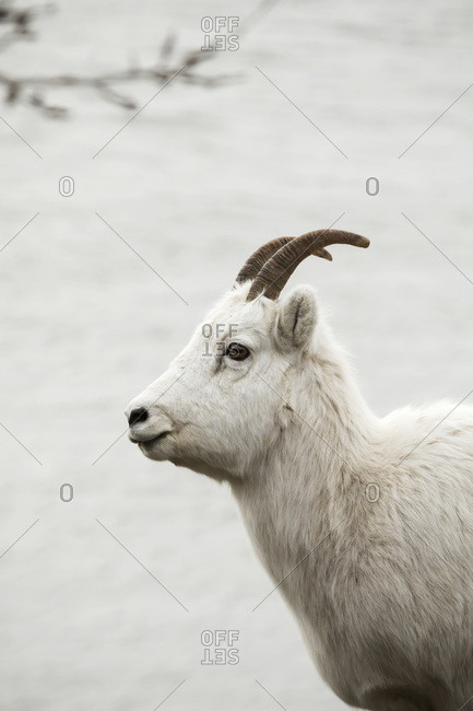 Profile view of a female Dall Sheep along Turnagain Arm and the Seward Highway, South-central Alaska
