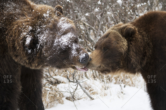 Male and female Grizzly bears greet each other with noses, Alaska Wildlife Conservation Center, South-central Alaska