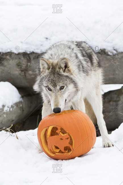 Young female wolf plays with a jack-o-lantern at the Alaska Wildlife Conservation Center, South-central Alaska, winter