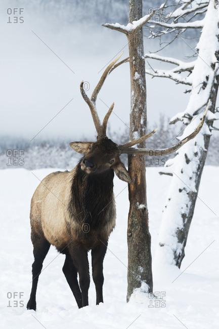 CAPTIVE: Bull elk rubs its antlers on a tree in winter, Alaska Wildlife Conservation Center, South-central Alaska