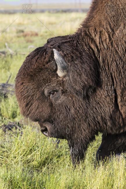Close up profile of a large bull Wood Bison, Alaska Wildlife Conservation Center, South-central Alaska