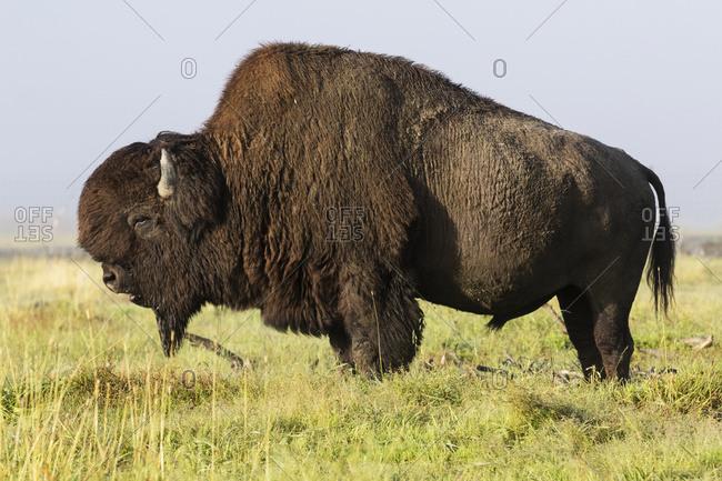 Large bull Wood Bison, Alaska Wildlife Conservation Center, South-central Alaska