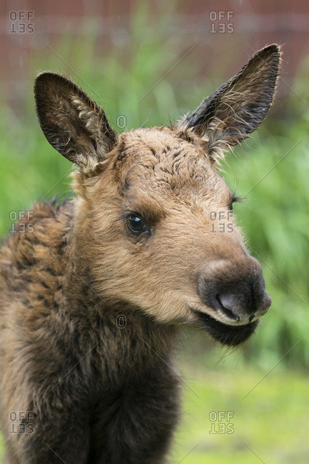 Portrait of a young calf moose, Alaska Wildlife Conservation Center, South-central Alaska, spring