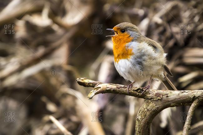 European robin (Erithacus rubecula) singing; Blarney, Munster, Ireland
