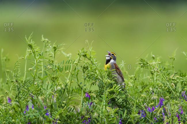 A male Dickcissel (Spiza americana) singing; Vian, Oklahoma, United States of America
