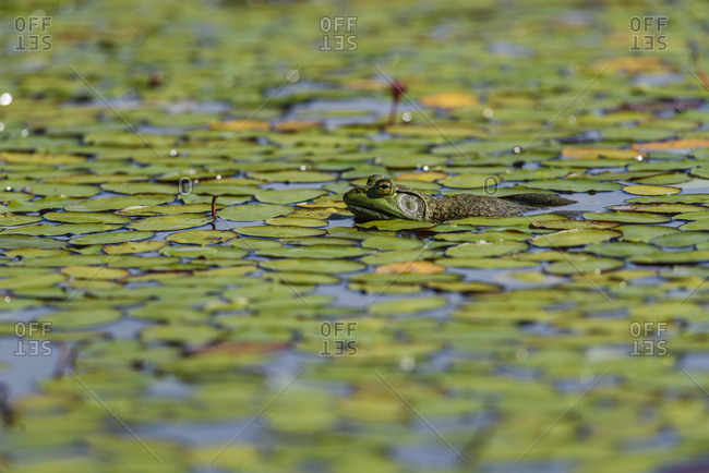 An American bullfrog (Lithobates catesbeianus) rests in a pond; Tahlequah, Oklahoma, United States of America