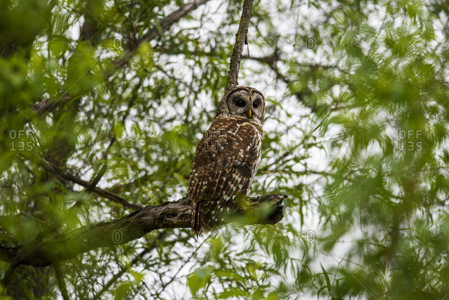 A Barred Owl (Strix varia) seeks prey among the willows; Vian, Oklahoma, United States of America