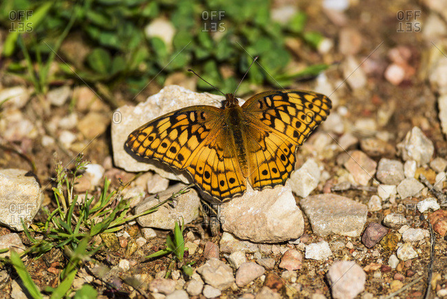 A Variegated Fritillary Butterfly (Euptoieta claudia) soaks up sunlight; Tahlequah, Oklahoma, United States of America