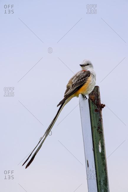 The Scissor-tailed Flycatcher (Tyrannus forficatus) is the state bird of Oklahoma; Vian, Oklahoma, United States of America