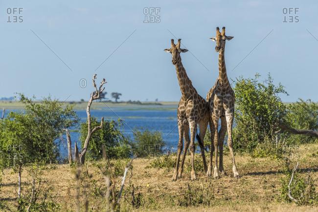 Two South African giraffe (Giraffa camelopardalis) standing beside river; Botswana