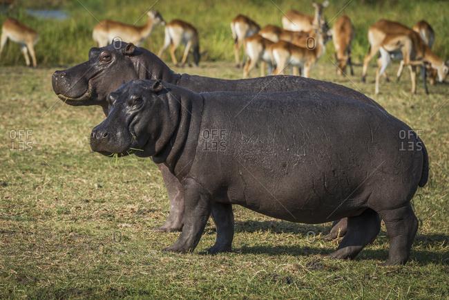 Two hippopotamus (hippopotamus amphibius) eating grass by impala (Aepyceros melampus) herd; Botswana