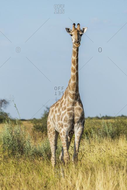 South African giraffe (Giraffa camelopardalis) facing camera in grass; Botswana