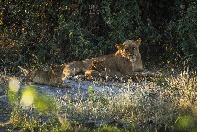 Sleepy lioness (panthera leo) lying in bushes with cubs; Botswana