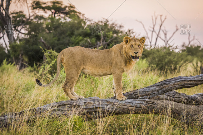 Lion (panthera leo) standing and turning head on dead branch; Botswana