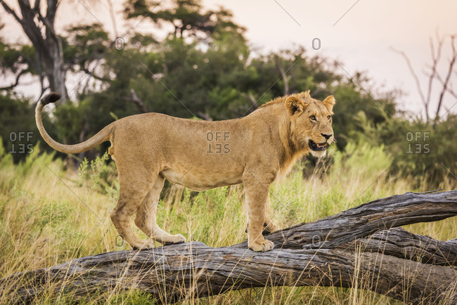 Lion (panthera leo) standing on dead branch looking ahead; Botswana
