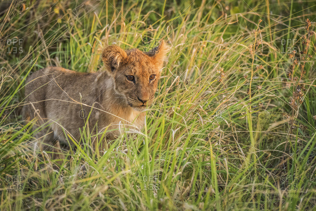 Lion cub (panthera leo) staring ahead in long grass; Botswana