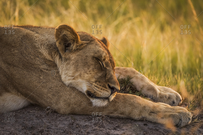 Lion (Panthera leo) asleep with head on front leg; Botswana