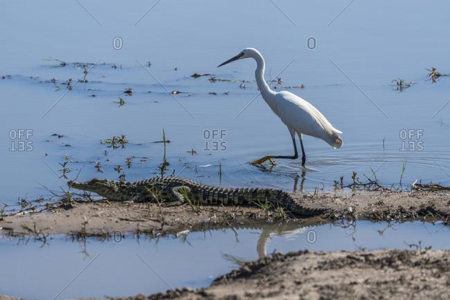 Great white egret (Ardea alba) walking past Nile crocodile (Crocodylus niloticus); Botswana