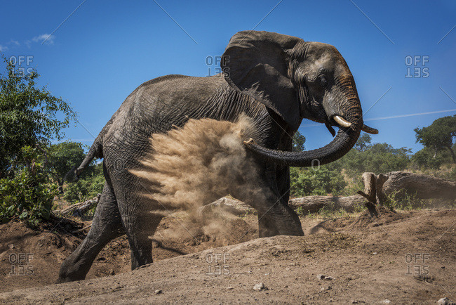 An elephant (Loxodonta Africana) is throwing dust over itself with it's trunk on a bare earth slope with trees in the background under a blue sky; Botswana