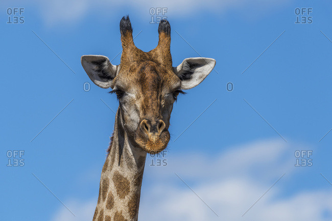 Close up of South African giraffe (Giraffa camelopardalis) facing camera; Botswana