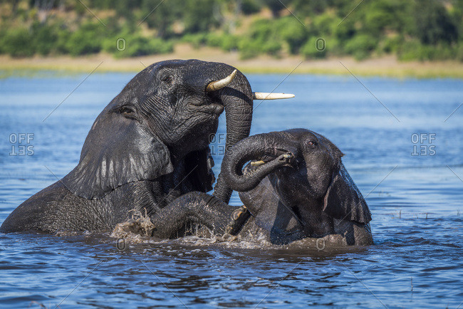 Two wet elephants (Loxodonta Africana) play fighting in river; Botswana