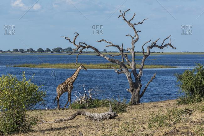 South African giraffe (Giraffa camelopardalis giraffa) walking by dead tree; Botswana