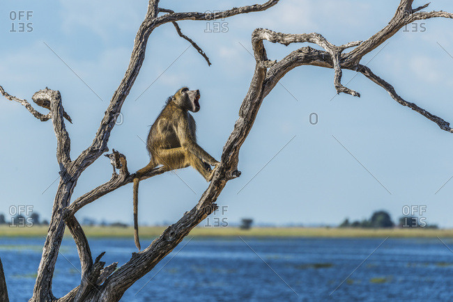 Chacma baboon (Papio ursinus) yawning in a tree by the river; Botswana