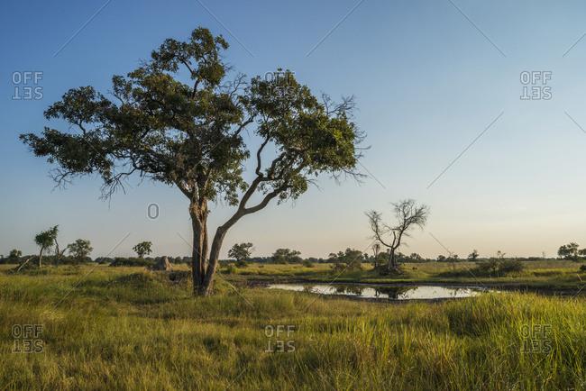 Acacia tree beside water hole at dusk; Botswana