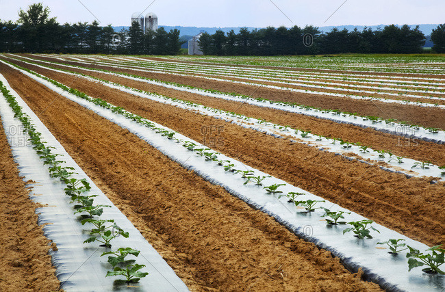 Oblique rows of young zucchini plants on black plastic on a farm with silos, trees and blue sky in the background; Medora, Indiana, United States of America