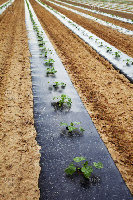 Oblique rows of young zucchini plants on black plastic in early summer; Medora, Indiana, United States of America