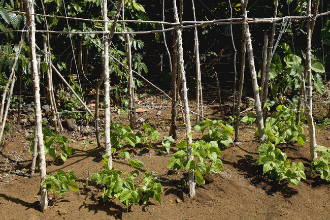 Close up view of young pole bean plants growing on a demonstration farm in the North Kona District of the Big Island, the shiny leaves of coffee trees are in the background; Kona, Island of Hawaii, Hawaii, United States of America
