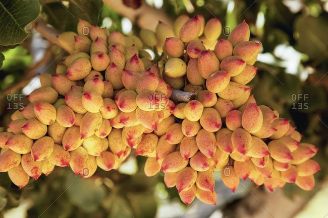 Close up view of a cluster of maturing pistachios in a grove in the fall near Wenden; Arizona, United States of America