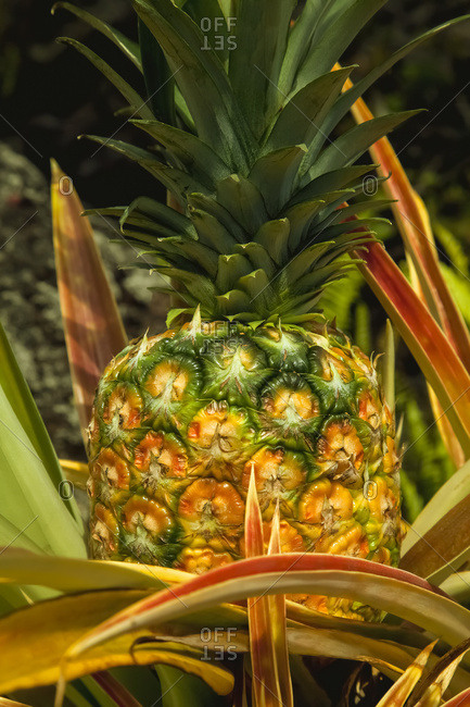 Close up view of a nearly ripe pineapple growing on the Hamakua Coast near Hilo; Island of Hawaii, Hawaii, United States of America