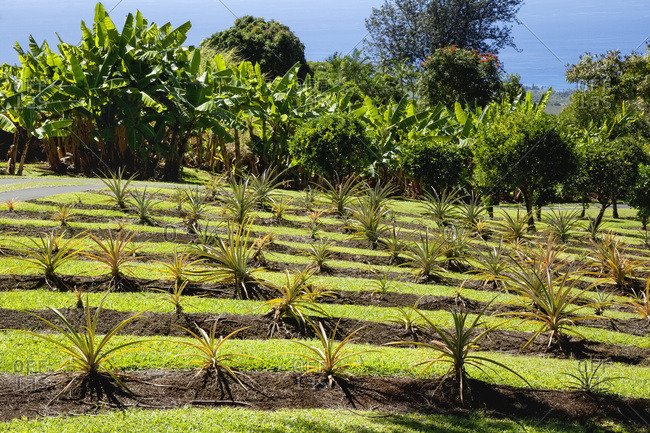 On a demonstration farm in the North Kona District of the Big Island, pineapple plants are grown on a terraced hillside with banana trees, coffee trees and the Pacific Ocean in the background; Kailua Kona, Island of Hawaii, Hawaii, United States of America