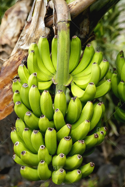 Close up view of large stalk of developing bananas on a tree in the South Kona District of the Big Island; Island of Hawaii, Hawaii, United States of America