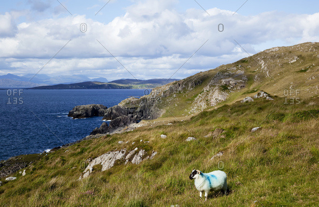 A sheep with painted blue markings stands alone on a grassy slope overlooking the ocean and coastline, near Eyeries; County Cork, Ireland