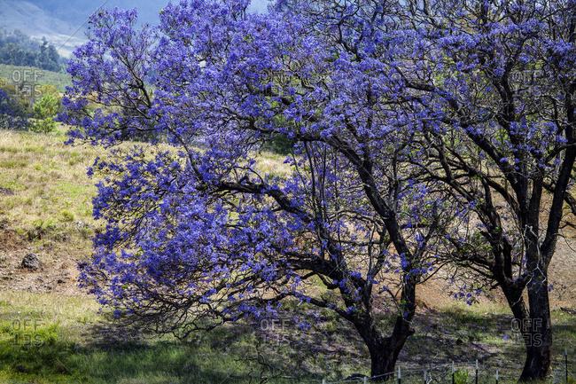 A Jacaranda tree full of purple blossoms; Maui, Hawaii, United States of America