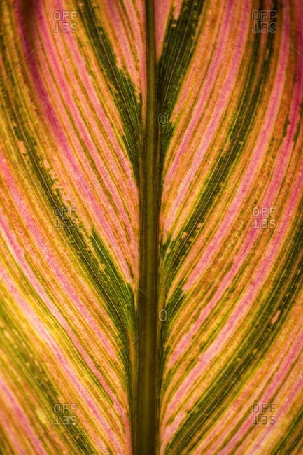 Close up of a colorful leaf from a tropical plant; Maui, Hawaii, United States of America