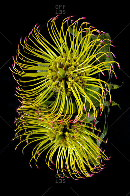 Close up of a unique tropical flower on a black background; Hawaii, United States of America
